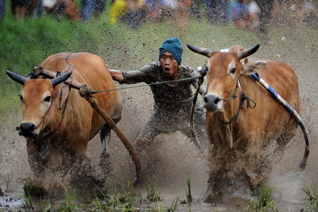 A jockey spurs the cows during Pacu Jawi on May 23, 2015 in Padang, Indonesia. Pacu Jawi (traditional cow racing) is held annually in muddy rice fields to celebrate the end of the harvest season by the Minangkabau people. Jockeys grab the tails of the bulls and skate across the mud barefoot balancing on a wooden plank to show the strength of their bulls who are later auctioned to buyers. (Photo by Robertus Pudyanto/Getty Images)