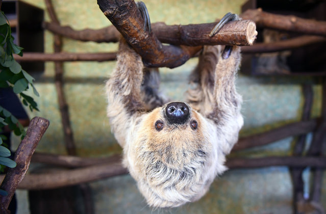 """Sloth """"Paula"""" hangs from a branch in her enclosure at the zoo in Halle an der Saale, eastern Germany, on June 14, 2019. The two-toed sloth celebrated her 50th birthday and is, according to the zoo, the oldest sloth of the world. (Photo by Hendrik Schmidt/dpa/AFP Photo)"""