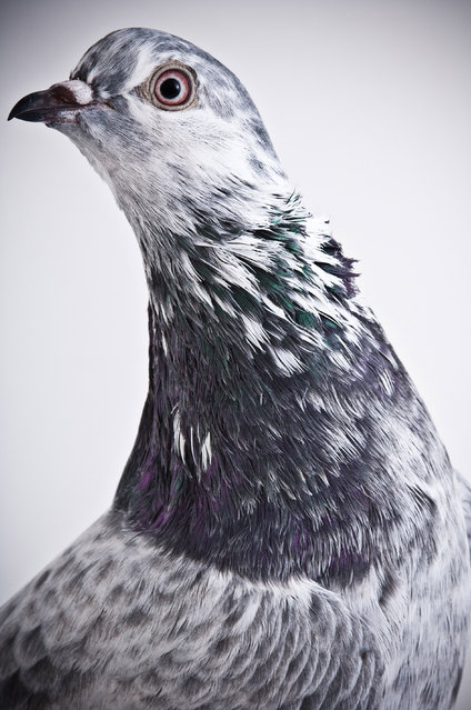 Competition Tippler. Darwin's Pigeons series. (Photo by Photo by Richard Bailey/Caters News)