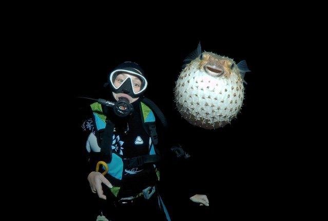 Underwater photobomb: porcupine fish steals the show. One evening in November, photographer Andrey Nekrasov was on a dive looking for nocturnal wildlife, near Sharm al-Sheik in the Red Sea, off the coast of Egypt. The group was at a depth of about 26 feet (8 meters) when this startled specimen – a porcupine fish – joined the party. (Photo by Andrey Nekrasov/Barcroft Media)