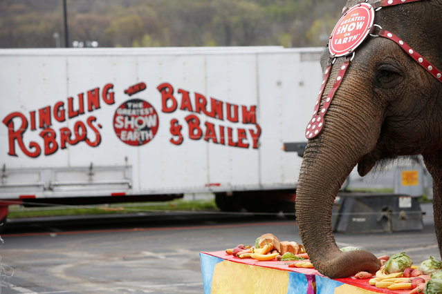 """An elephant participates in an elephant brunch before Ringling Bros and Barnum & Bailey Circus' """"Circus Extreme"""" show at the Mohegan Sun Arena at Casey Plaza in Wilkes-Barre, Pennsylvania, U.S., April 29, 2016. (Photo by Andrew Kelly/Reuters)"""