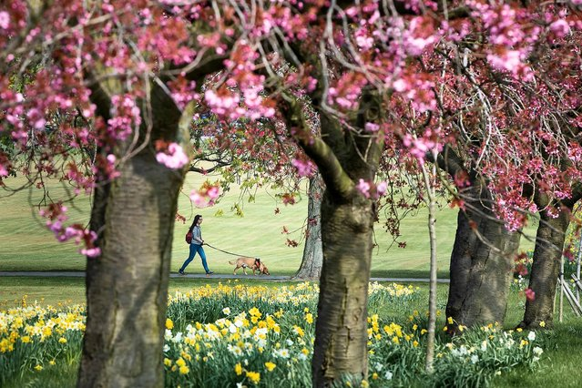 Warmer spring weather has brought out the cherry blossoms in Harrogate, Yorkshire, UK on April 17, 2019. Temperatures are expected to reach the mid-twenties over Easter. (Photo by Danny Lawson/PA Wire Press Association)