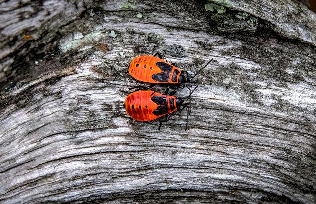 Two firebugs (Pyrrhocoris apterus) crawl on a snag in Prioksko-Terrasny nature reserve outside the town of Serpukhov, Russia on July 12, 2019. (Photo by Yuri Kadobnov/AFP Photo)