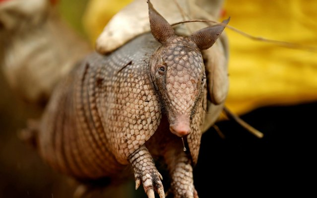 A Brazilian Institute for the Environment and Renewable Natural Resources (IBAMA) fire brigade member shows an injured armadillo as he attempts to control hot points during a fire in Apui, Amazonas state, Brazil on September 3, 2019. (Photo by Bruno Kelly/Reuters)
