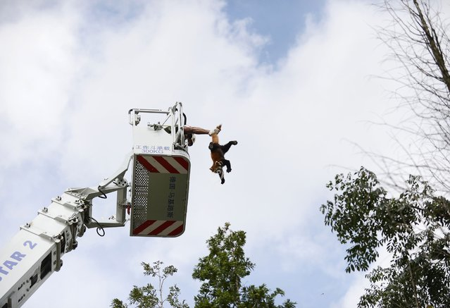 A firefighter holds a red panda (Ailurus fulgens) from its tail while removing it from a tree at a residential area in Kunming, Yunnan province, July 3, 2014. The animal was spotted in the residential area and was brought down from the tree after residents reported its sighting to the police, local media reported. (Photo by Reuters/Stringer)