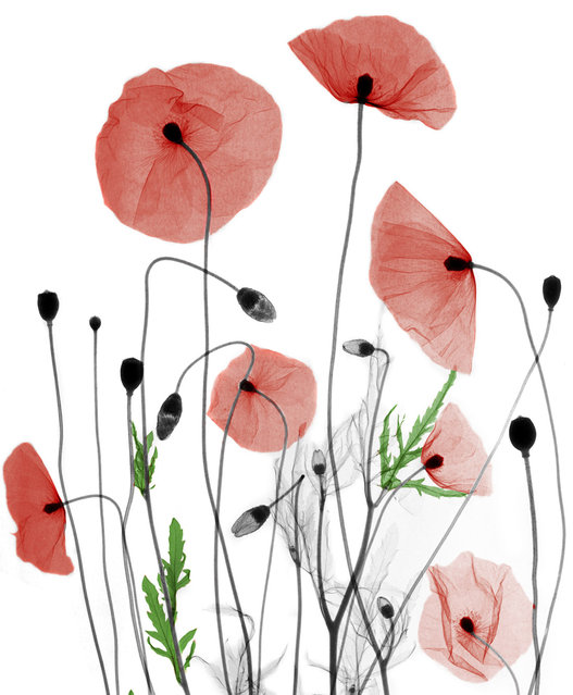 Coloured X-ray of poppies. A physicist has used X-ray to create an extraordinary collection of artwork. Arie van't Riets pictures reveal birds, fish, monkeys and flowers in an incredible new light. The 66-year-old, from Bathmen in the Netherlands, began X-raying flowers as a means to teach radiographers and physicians how the machine worked. But after adding a bit of colour to the pictures, the retired medical physicist realised the potential for an exciting new collection of art. (Photo by Arie van't Riet/Barcroft Media)