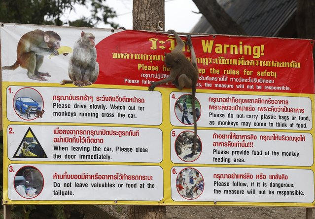 A monkey climbs on the warning sign at the Wat Khao Takiab temple area in Hua Hin city, Prachuap Khiri Khan Province, Thailand, 15 July 2017. (Photo by Narong Sangnak/EPA/EFE)