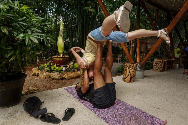 Mary Fran Weissleder, top, of Lake Worth practices a form of therapeutic yoga with Paban Alankar, of Loxahatchee, near the corpse flower on Saturday. (Photo by Thomas Cordy/The Palm Beach Post)