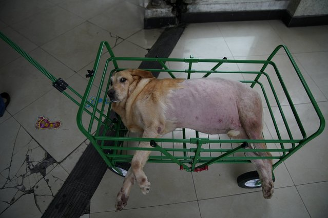 A dog lies in a cart after treatment at Shanghai TCM (Traditional Chinese Medicine) Neurology and Acupuncture Animal Health Center, which specialises in acupuncture and moxibustion treatment for animals in Shanghai, China on August 21, 2017. (Photo by Aly Song/Reuters)