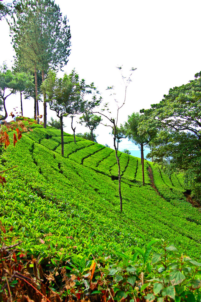 The Sprawling Tea Estates of Coonoor