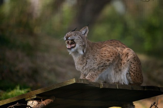 The mother of two Northern Lynx kittens yawns as they explore their enclosure at the Highland Wildlife park on October 9, 2012 in Kingussie, Scotland. The feline twins are believed to be the type of lynx found historically in Scotland. The Highland Wildlife Park specialises in Scottish animal species, both past and present, and species that are well adapted to cold weather.  (Photo by Jeff J. Mitchell)