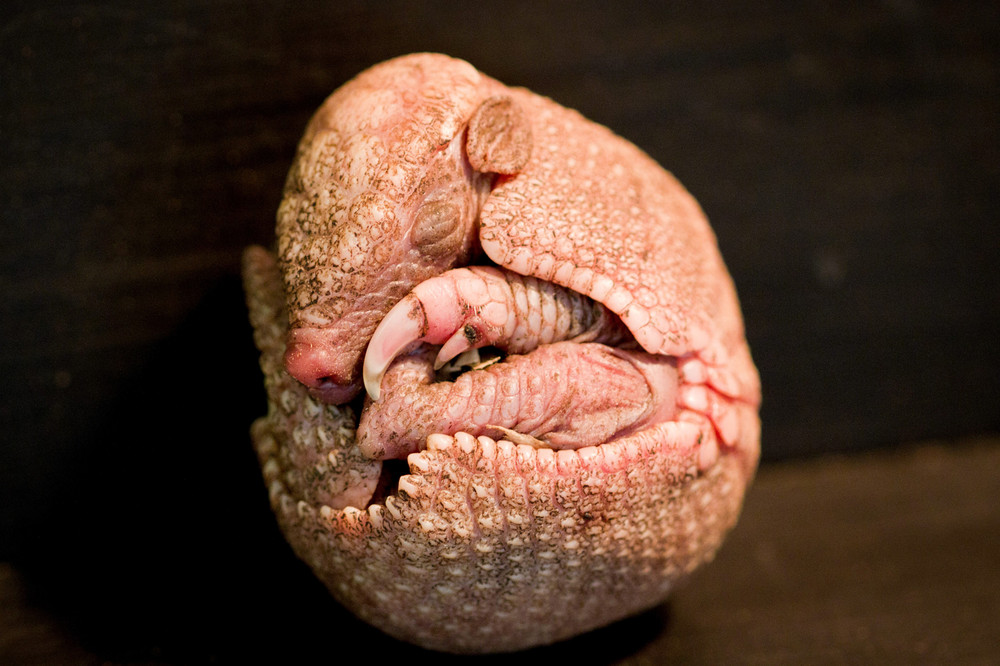 Baby Amarillo Born at Edinburgh Zoo