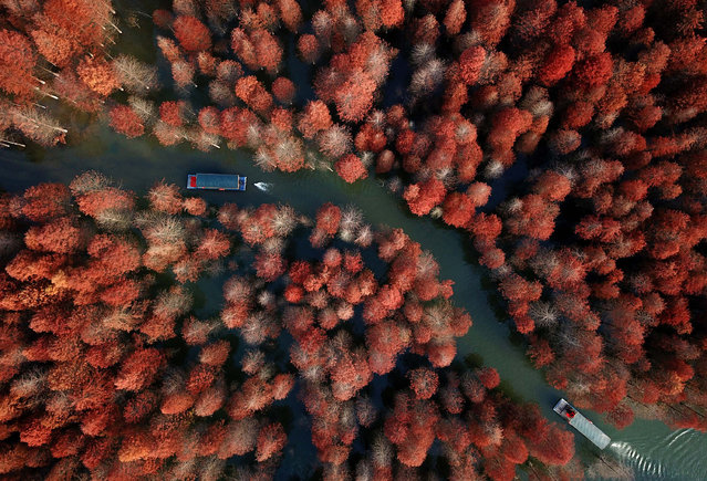 Aerial view of pond cypress at Qinglongwan Forest Park near Ningguo, China on November 26, 2017. (Photo by Imaginechina/Rex Features/Shutterstock)