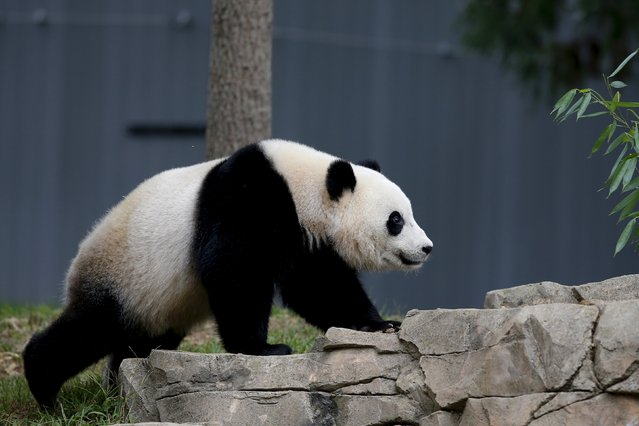 A panda is seen at the Smithsonian National Zoo in Washington September 25, 2015. (Photo by Carlos Barria/Reuters)