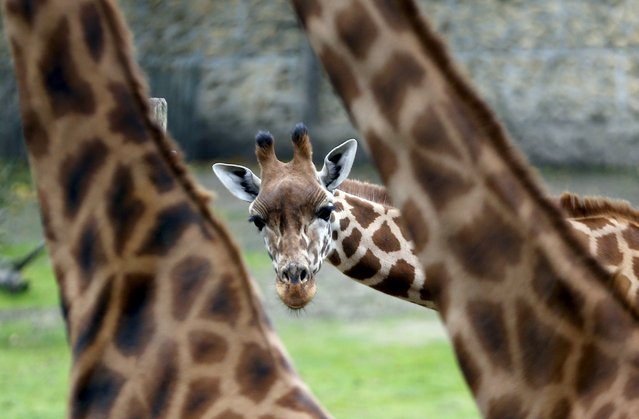 A giraffe calf is pictured among others members of the herd in their enclosure at Planckendael's zoo near Mechelen, Belgium, October 10, 2015. (Photo by Francois Lenoir/Reuters)