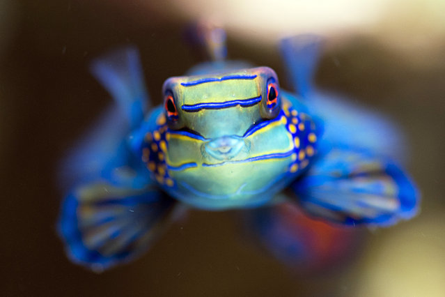 A mandarinfish (Synchiropus splendidus) swims in its aquarium at the zoo in Basel, Switzerland, November 12, 2014. The zoo's vivarium contains about 6,000 individual inhabitants from as many as 480 different species. (Photo by Georgios Kefalas/EPA)
