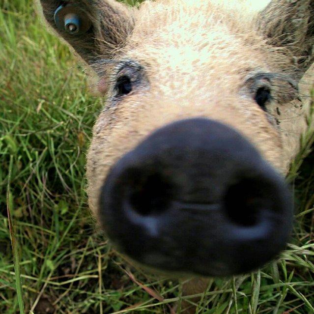 Mangalitsa The Hairy Pig