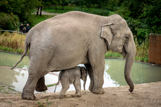 Baby elephant Mun, born on 01 October released into the outdoor facility for the first time in Copenhagen Zoo, Denmark, 07 October 2020. The baby elephant is accompanied by his mother the 22-year-old Asian elephant Surin. (Photo by Mads Claus Rasmussen/EPA/EFE)