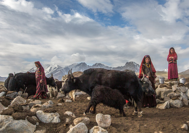 Wakhi nomad women milk yaks in Wakhan, Afghanistan. About 12,000 villagers live at an altitude of 4,500 metres in the harsh, desolate terrain. The Wakhi people live a simple, relaxed life with their livestock. (Photo by Eric Lafforgue/Barcroft Images)