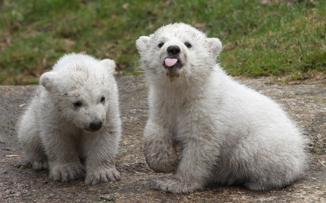 14 week-old twin polar bear cubs play during their first presentation to the media in Hellabrunn zoo on March 19, 2014 in Munich, Germany. (Photo by Alexandra Beier/Getty Images)