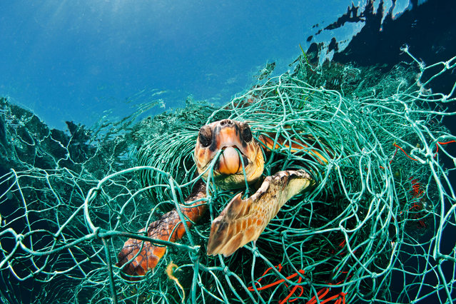 "Turtle in trouble by Jordi Chias Pujol. ""The photographer spotted a floating mass of netting holding a still-living loggerhead turtle, completely entangled. Though a loggerhead spends most of its life at sea, it has to surface to breathe. As this net was floating, the turtle could just about stretch up to breathe. The photographer tried to cut it free but eventually the netting was hauled on board and after 20 minutes the turtle was set free. The ocean is littered with such ""ghost"" fishing gear, and this was not the first time the photographer had rescued a snared animal"". (Photo by Jordi Chias Pujol/Unforgettable Underwater Photography/NHM)"