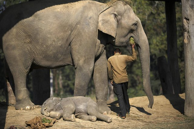 A one and a half months old baby elephant sleeps as a mahout feeds its mother before leaving for the jungle at Chitwan National Park in Chitwan, south of Kathmandu December 30, 2014. (Photo by Navesh Chitrakar/Reuters)