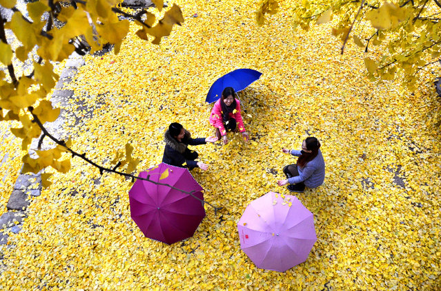 Tourists play under golden ginkgo trees at a scenic resort on November 19, 2015 in Zibo, Shandong Province of China. (Photo by ChinaFotoPress/ChinaFotoPress via Getty Images)