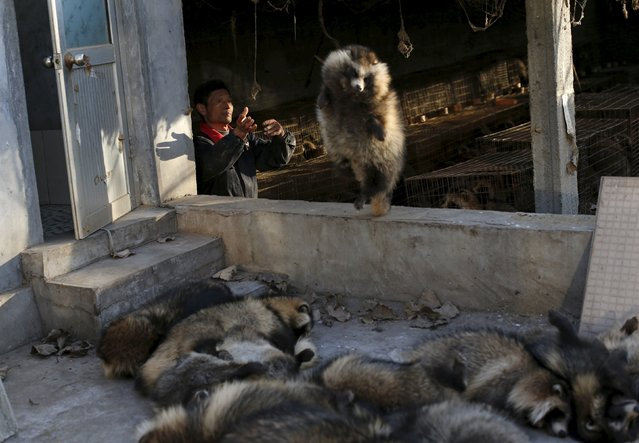 A worker throws a fox after electrocuting it into a yard to have its fur peeled off, at a fox farm in Nanzhuang village, Shandong province, China, December 11, 2015. (Photo by William Hong/Reuters)