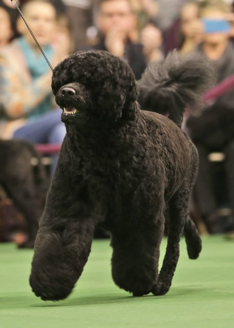 Matisse, a Portuguese water dog, competes at the Westminster Kennel Club show in New York, Tuesday, February 17, 2015. The show started Monday morning and, to the owners of the 2,711 pooches set to take part, it's the Super Bowl, World Series and Daytona 500 of dogdom in the United States, one giant bark in the park. (Photo by Seth Wenig/AP Photo)