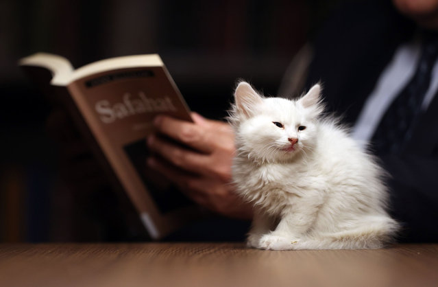 """A kitten sits nearby a library user as he reads a book at """"Kedili Tekke"""" (lodge with cats), used as a library at present in Bursa, Turkey on March 30, 2021. The library used to be a Sufi lodge and built by Sheikh Ahmet Efendi during 16th century of Ottoman period, was named after the hosts who fed cats around. The cats at the library taken care of by Osman Gazi Municipality Stray Animals Center. (Photo by Ali Atmaca/Anadolu Agency via Getty Images)"""