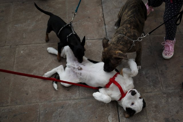 Dogs play before they are blessed by a priest outside San Anton Church in the neighborhood of Churriana, in Malaga, near Malaga, Spain, January 17, 2016. (Photo by Jon Nazca/Reuters)