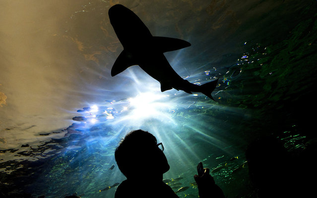 A person watches a shark swim above during the grand opening of the Ripley's Aquarium of Canada in Toronto on Wednesday, October 16, 2013. After two years of construction, delays and $130 million in costs, Ripley's Aquarium of Canada opened to the public Wednesday. The aquarium, billed as the country's largest, is home to more than 13,000 aquatic animals and 450 different species held in nearly six million litres of water. (Photo by Nathan Denette/AP Photo/The Canadian Press)