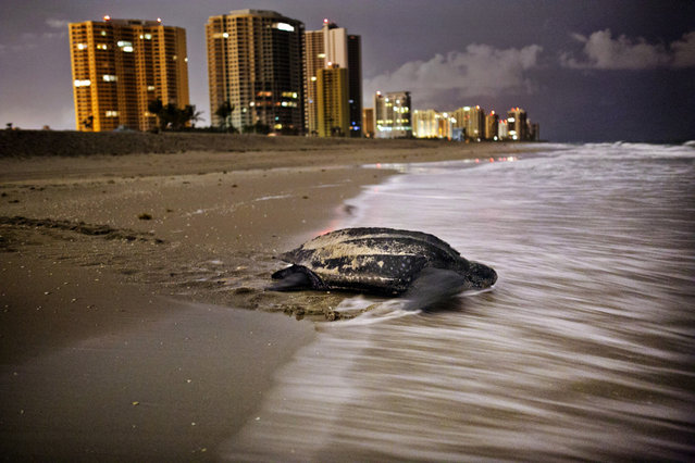 After midnight, a leatherback returns to the water having deposited her eggs on Singer Island. 322 leatherback nests were documented this year, and 100 of those were in Palm Beach County. (Photo by Greg Lovett/The Palm Beach Post)