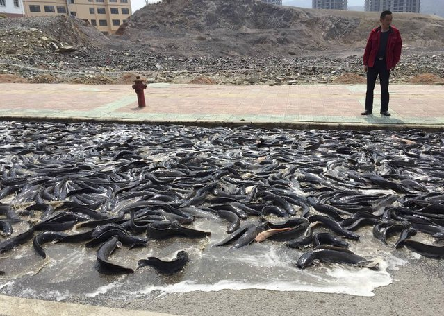 A man looks at catfish which have fallen from a truck on a street in Kaili, Guizhou province March 18, 2015. The door of a truck carrying 6800 kgs (14,991 lbs) of catfish was opened by accident as it travelled along a street in Kaili on Wednesday. With the help of local firefighters and residents, most of the fish were cleared up in about two hours, local media reported. (Photo by Reuters/Stringer)