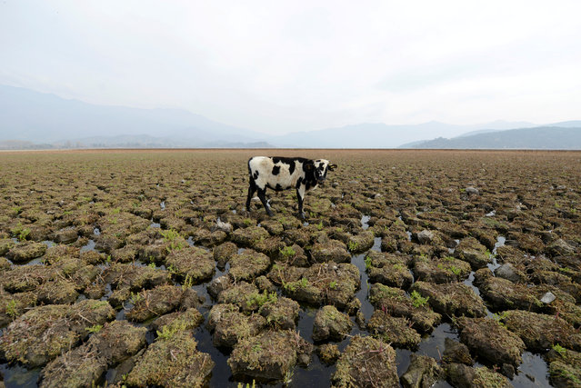 A cow is seen on land that used to be under water, at the Aculeo Lagoon in Paine, Chile, May 14, 2018. (Photo by Matias Delacroix/Reuters)