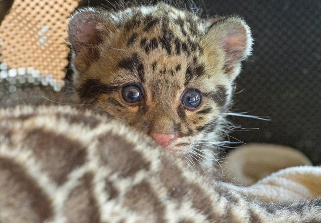 A baby clouded leopard, born early in March 2015, is seen at the Olmense Zoo in Olmen, Belgium, April 16, 2015. (Photo by Yves Herman/Reuters)