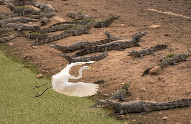 In this September 14, 2020 file photo, an egret flies over a bask of caiman on the banks of the almost dried up Bento Gomes river, in the Pantanal wetlands near Pocone, Mato Grosso state, Brazil. The Pantanal is the world's largest tropical wetlands, popular for viewing jaguars, along with caiman, capybara and more. In 2020 the Pantanal was exceptionally dry and burning at a record rate. (Photo by Andre Penner/AP Photo/File)