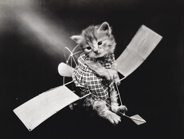 Photograph shows a kitten wearing a dress placed inside a toy glider, 1914. (Photo by Harry Whittier Frees/Library of Congress)