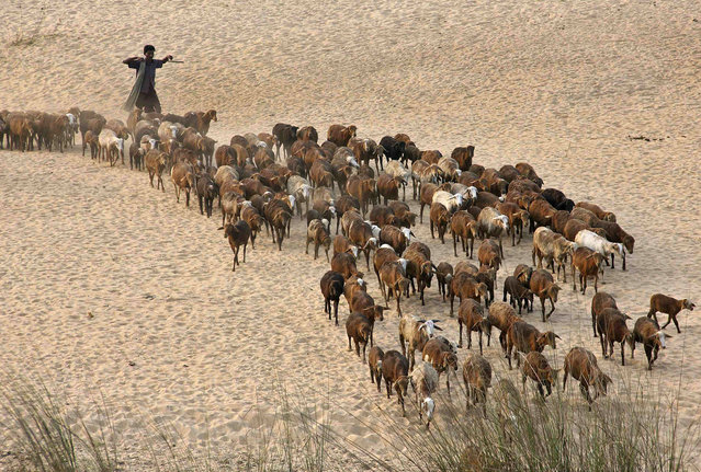 A shepherd walks with his flock of goats along the banks of the Mahanadi River in Cuttack district, about 45 km (28 miles) from the eastern Indian city of Bhubaneswar on January 21, 2014. (Photo by Reuters/Stringer)