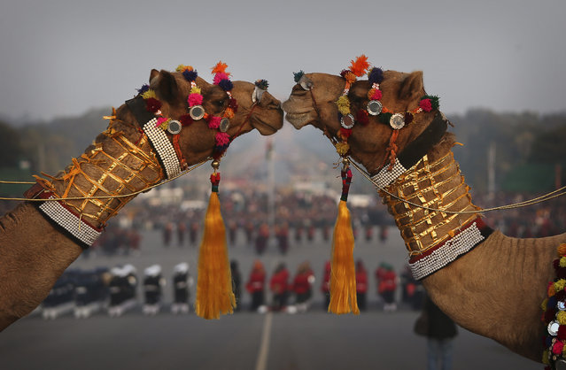Decorated camels of India's Border Security Force stand in formation during a rehearsal of the Beating Retreat ceremony at Raisina hill which houses India's most important ministries and the presidential palace, in New Delhi, India, Monday, January 27, 2014.The ceremony performed every year on the evening of January 29 by the three wings of the Indian military marks the end of Republic Day festivities. (Photo by Manish Swarup/AP Photo)