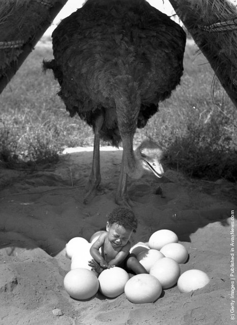 A baby in Oudtshoorn, Cape Province in South Africa, sitting in a pile of Ostrich eggs with the Ostrich stood behind, 1939