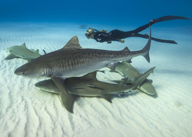 Pictured Ocean Ramsey freediving with sharks. (Photo by Juan Oliphant/Caters News)