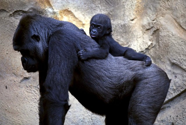 """A Western Lowland Gorilla baby named """"Mjukuu"""", that was born in October last year, rides on the back of its Mother """"Mbeli"""" in their enclosure at Taronga Zoo in Sydney, Australia, May 19, 2015. (Photo by David Gray/Reuters)"""