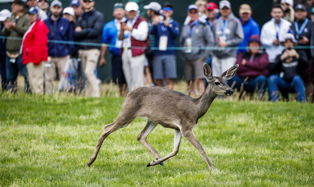 A deer runs along the sixth hole during the third round of the 119th US Open Championship at the Pebble Beach Golf Links in Pebble Beach, California, USA, 15 June 2019. The tournament is being played from 13 June to 16 June. (Photo by Erik S. Lesser/EPA/EFE)