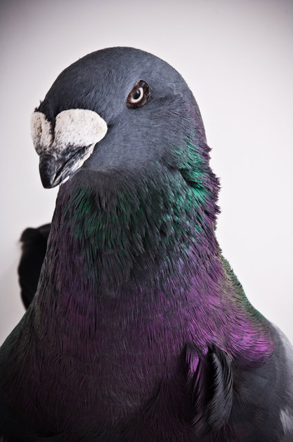 Show Homer. Darwin's Pigeons series. (Photo by Photo by Richard Bailey/Caters News)