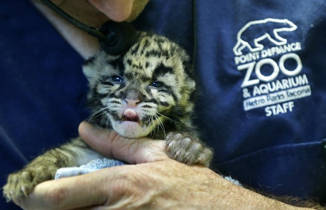 Andy Goldfarb, a staff biologist at the Point Defiance Zoo & Aquarium, holds one of the four clouded leopard cubs currently at the zoo Friday, June 5, 2015 in Tacoma, Wash. The quadruplets were born on May 12, 2015 and now weigh about 1.7 lbs. each. Friday was their first official day on display for public viewing, usually during their every-four-hours bottle-feeding sessions, which were started after the cubs' mother did not show enough interest in continuing to nurse them. (AP Photo/Ted S. Warren)