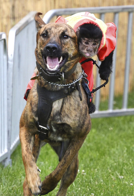 Bert, a black-capped Capuchin monkey, leans into the coming turn as he rides Luna, a German shepherd in the Banana Derby during the McHenry County Fair in Woodstock, Ill., Tuesday, July 30, 2019. (Photo by John Starks/Daily Herald via AP Photo)