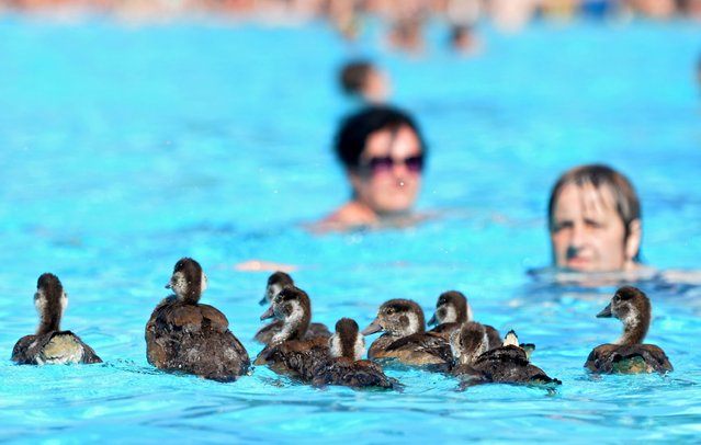 Encounters of the special kind: Goslings go for a swim at the Brentanobad, joining pool-goers trying to cool down during the heatwave in Frankfurt, Germany, 02 July 2015. The high temperatures are predicted to last for a several days. (Photo by Laura Lewandowski/EPA)