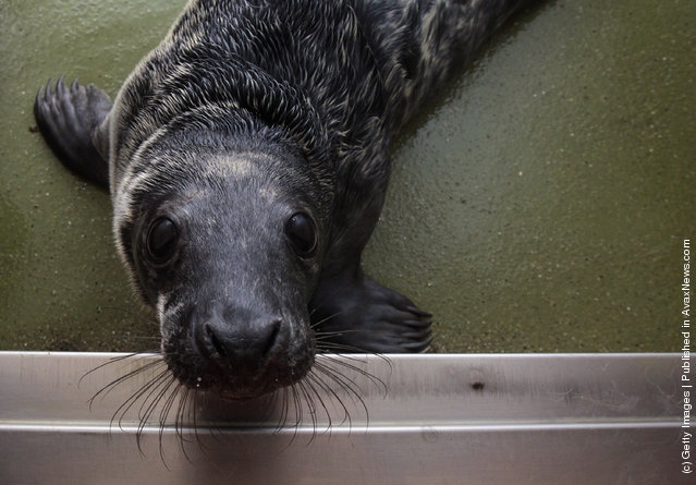 A recently rescued grey seal pup looks up from its indoor kennel at the RSPCA West Hatch Wildlife Centre