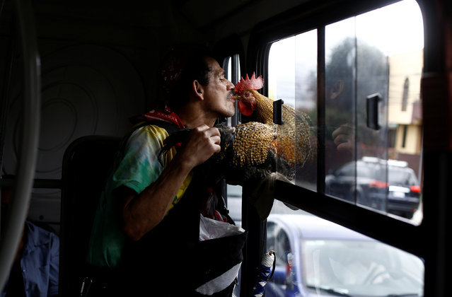 "Martin Herrera feeds his favorite rooster ""Paquito"" as he travels by bus to the city in San Jose, Costa Rica April 27, 2017. (Photo by Juan Carlos Ulate/Reuters)"